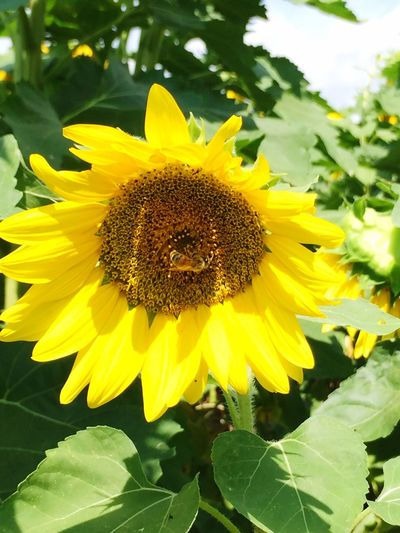 Sunflower love Flower Yellow Beauty In Nature Close-up Sunflower Blossom Bee 🐝 Vibrant Color Bee And Flower Field Of Flowers