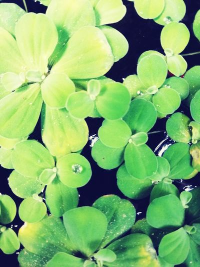green algae https://www.instagram.com/accounts/edit/ Water Leaf Flower Full Frame Backgrounds Close-up Plant Green Color Photosynthesis Tissue Water Plant Flower Head Lotus Stamen Water Lily Hibiscus Pistil Dahlia Petal Pollen Blooming Relaxed Moments Delicate Lily Lily Pad Lotus Water Lily Plant Part Dew