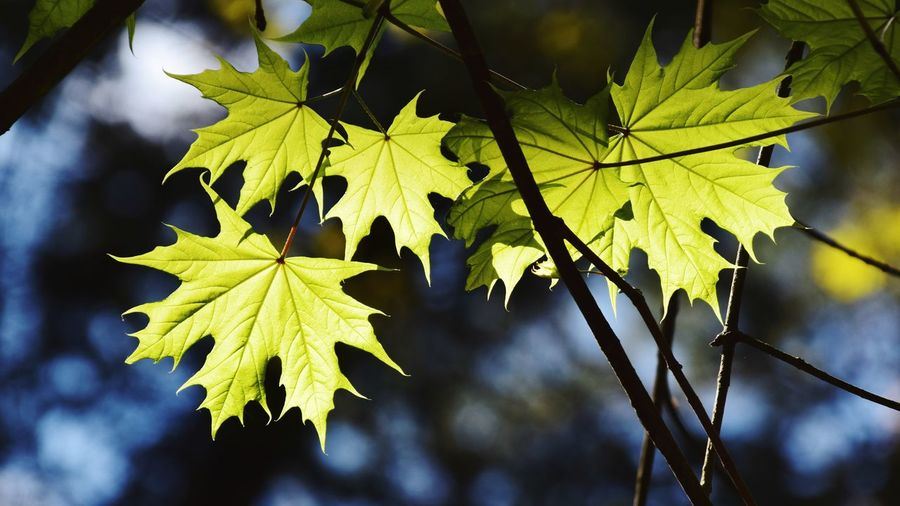 Close-up of maple leaves against blurred background
