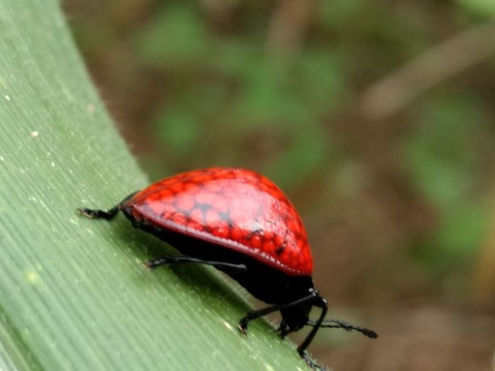 Apenas estar no lugar certo... Ladybug Red Color Bug Buglife Invertebrate Red Insect Animal Wildlife Animals In The Wild Animal Themes One Animal Animal Beetle Close-up Green Color Focus On Foreground Day Nature No People Outdoors Plant Part Plant Leaf My Best Photo