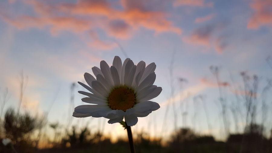 Close-up of flower against orange sky