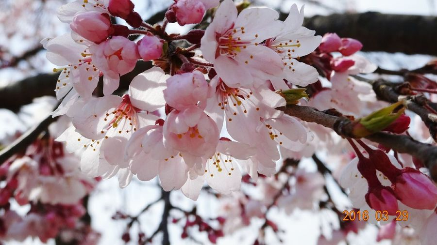 桜🌸 Taking Photos Quality Time Hello World Spring Is Coming  Spring Flowers Flower Photography Flower Porn Flower Collection Flowers Cherry Blossom