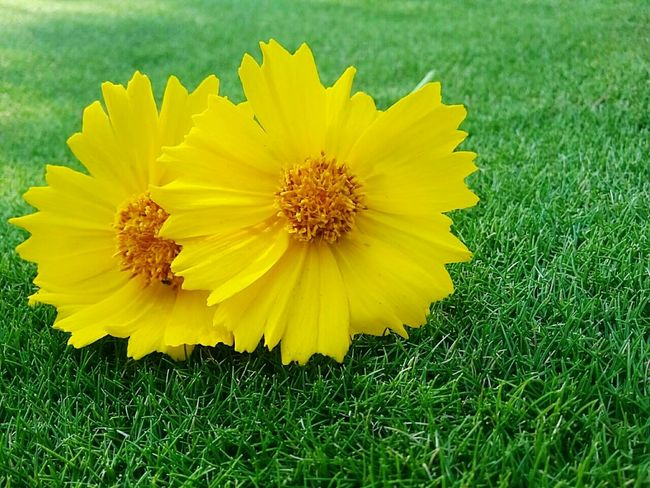 🌻 I wish a beautiful day for my friends 🌻 Hello World Flower Flowers Yellow Green Yellow And Green Beauty In Nature Nature Nature_collection Fragility Natureza Naturelovers Simplicity No People I LOVE PHOTOGRAPHY Day Rural Scene Beautiful Day EyeEm Gallery EyeEmBestPics EyeEm Best Shots Brazilian Gallery Brazil Brasil 🌿🌻💋🌻🌿🌍✌