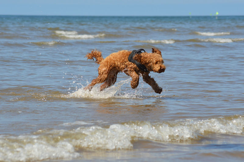 Cockapoo Animal Animal Themes Beach Canine Day Dog Dog In The Sea Dog In The Surf Dog On Holiday Dog On The Beach Domestic Domestic Animals Horizon Over Water Land Mammal Motion No People One Animal Pets Running Sea Vertebrate Water Wave