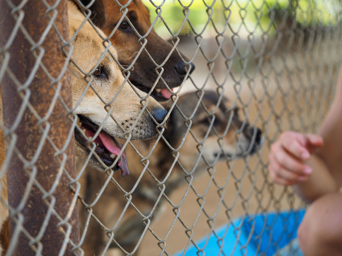 Dogs Seen Through Chainlink Fence