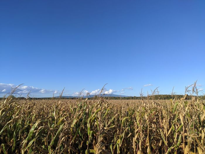 Crops growing on field against clear blue sky