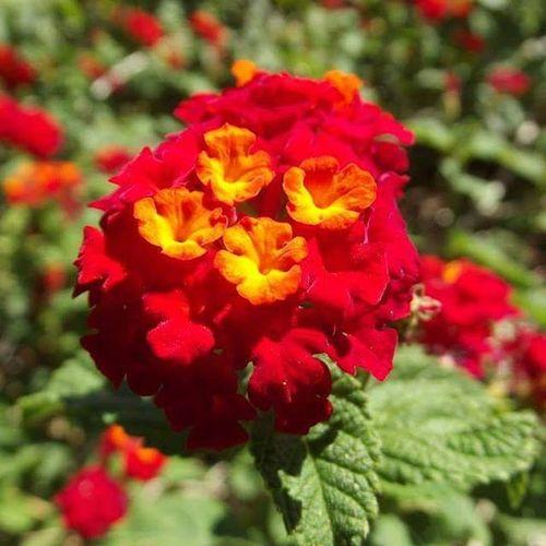 Red Lantana Texas Wildflowers