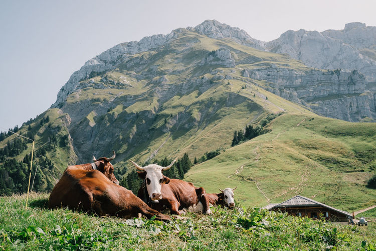 Cows sitting on grassy field against mountain
