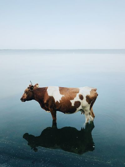 Cow in a sea