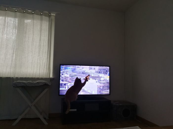 Cat Domestic Animals Domestic Cat Tv Playful Cat One Person People Adult Adults Only Technology