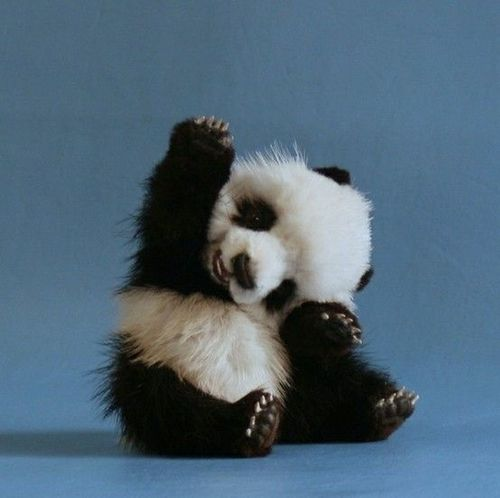 Baby Panda Animals Cute