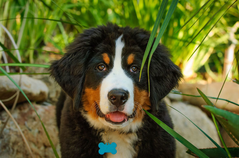 Bernese Mountain Dog puppy Animal Head  Animal Themes Bernese Bernese Mountain Dog Canine Close-up Cute Day Dog Dog Photography Domestic Animals Looking At Camera Mountain Dog Mouth Open No People One Animal Outdoors Pets Plant Portrait Puppy Young Animal