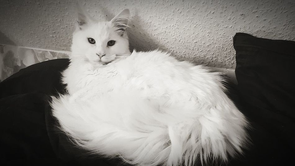 Whitecat Cat Maincoon Kitten Maincoon Looking At Camera Indoors  Portrait Domestic Cat One Person Animal Themes People Adult Pets