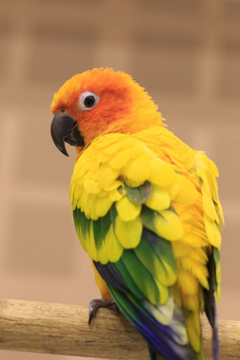 Close-up of sun conure perching on branch
