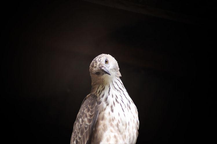 Portrait of hawk against black wall