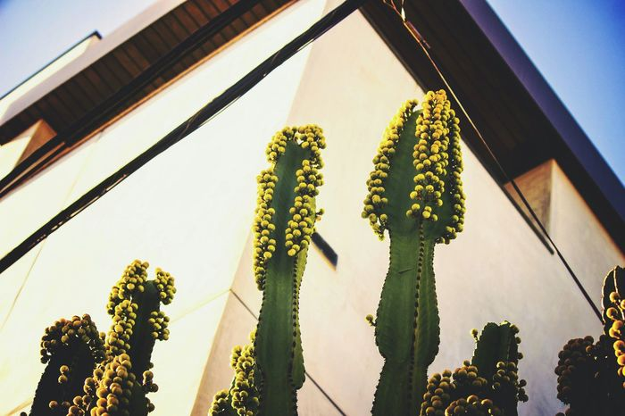 Urban Nature Plants California Manhattan Beach Yellow Green Things That Are Green Building Photography Canonphotography