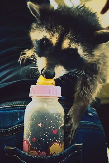 EyeEm Best Shots FUNNY ANIMALS Cute Pets Cute Wildlife Racoon Stolen Adorable EyeEm Nature Lover Eye4photography