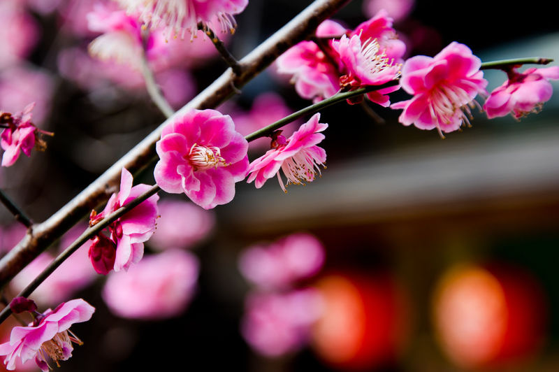Flower Flowering Plant Pink Color Plant Freshness Beauty In Nature Fragility Growth Vulnerability  Close-up Petal Blossom No People Nature Day Selective Focus Focus On Foreground Springtime Branch Inflorescence Outdoors Flower Head Cherry Tree Spring Tokyo