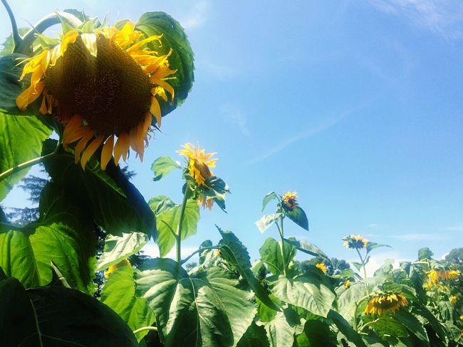 Taking Photos Summer Sunflower Blue Sky