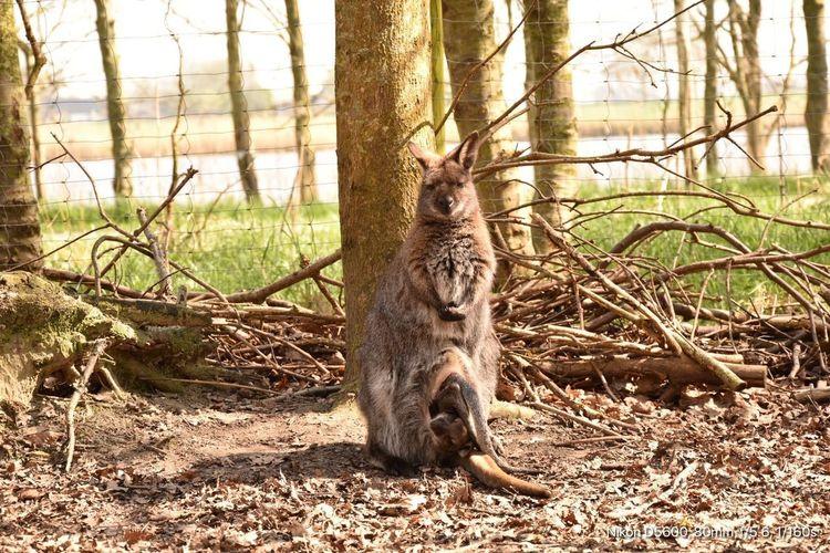 Kangoeroe Animal Themes One Animal Animal Tree Vertebrate Animal Wildlife Mammal Nature