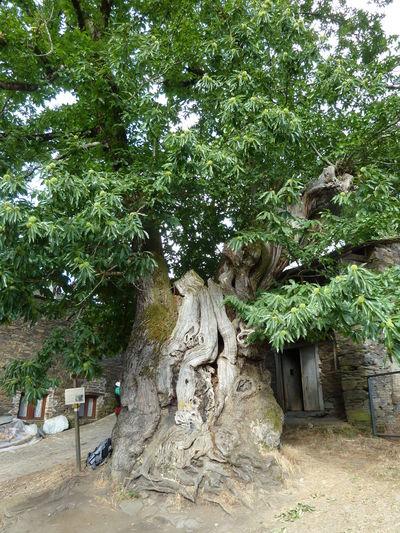 Chestnut Tree Giant Tree Growth Methuselah Nature Old Old Tree Tree