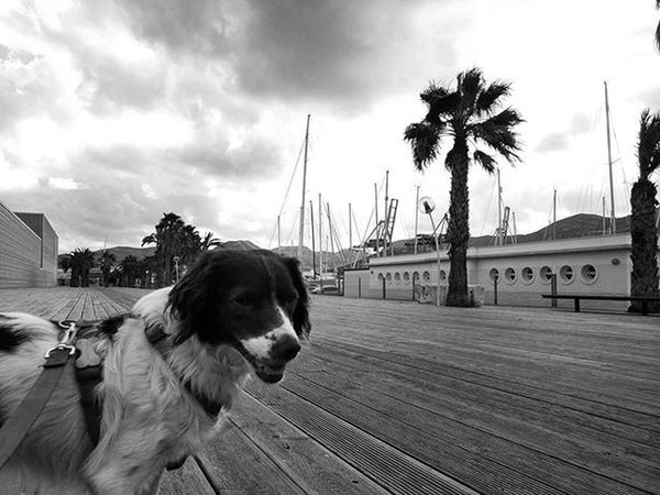 On the waterfront with my boy Rocco Blackandwhite Bnw_maniac Bnw Blackandwhitephotography Monochrome Brittanyspaniel Brittanyspaniels Rescuedogs