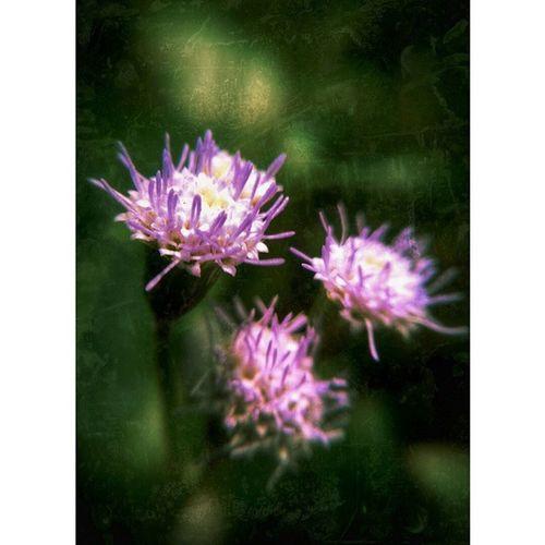 Triplets... Macro Detacheblemacrolens Flower Nature momsbackyard texture vscocam igers igersmalaya
