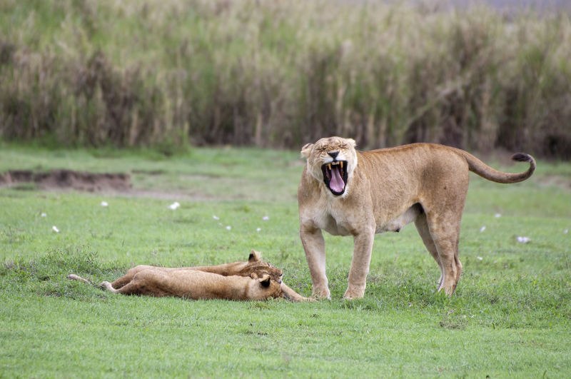 Lioness Yawning Animal Themes Animals In The Wild Brown Day Field Focus On Foreground Full Length Grass Grassy Green Color Horned Landscape Lioness Livestock Mammal Nature One Animal Portrait Standing Teeth Tongue Two Animals Yanwugongyuan