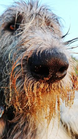 One Animal Animal Themes Dog Close-up Animal Head  Animal Nose Outdoors Sandy Nose Pets Dogs Of Summer Dog Of My Life Cearnaigh Irish Wolfhound Dog Of The Day Dogwalk Summer ☀ The Places ı've Been Today Showcase September Summer 2016 On The Beach September 2016 Sandy Beach Animal Focus On Foreground Low Angle View