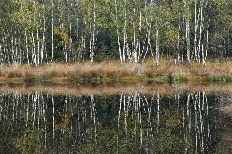 Berken Birch Forest Hazenputten Nature Outdoors Standing Water Tranquil Scene Tree Water