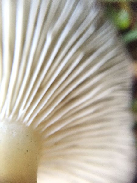 Close-up Food And Drink Food Indoors  Sweet Food No People Freshness Day Mushroom Mushrooms Macro Photography Macro Idaho Pacific Northwest  Nature_collection EyeEm Nature Lover Backyard Gills White Beauty In Nature Pattern Abstract EyeEm Gallery Full Frame Backgrounds