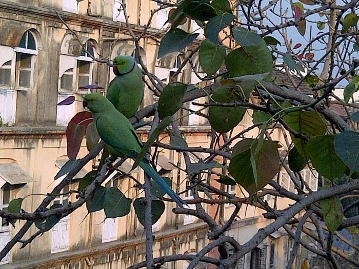 City Outdoors No People Architecture Day 2 Green Parrot Building Birds Nature Leaves Branches Parrot Love Birds Couples Red Peak Parakeets Tree Built Structure Branch City Building Exterior Adapted To The City