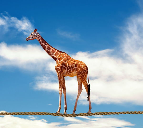 Giraffe Animal Themes Animal Wildlife Animals In The Wild Cloud - Sky Day Full Length Giraffe Low Angle View Mammal Nature No People One Animal Outdoors Sky Standing