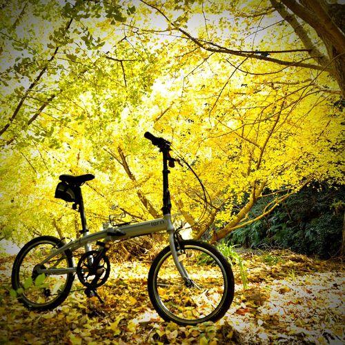武豊町自然公園 銀杏 銀杏の木 銀杏の絨毯 自転車 ミニベロ ポタリング Pottering Minivelo Bycicle Folding Bike Ginkgo Autumn Autumn Leaves Bicycle Day No People Outdoors