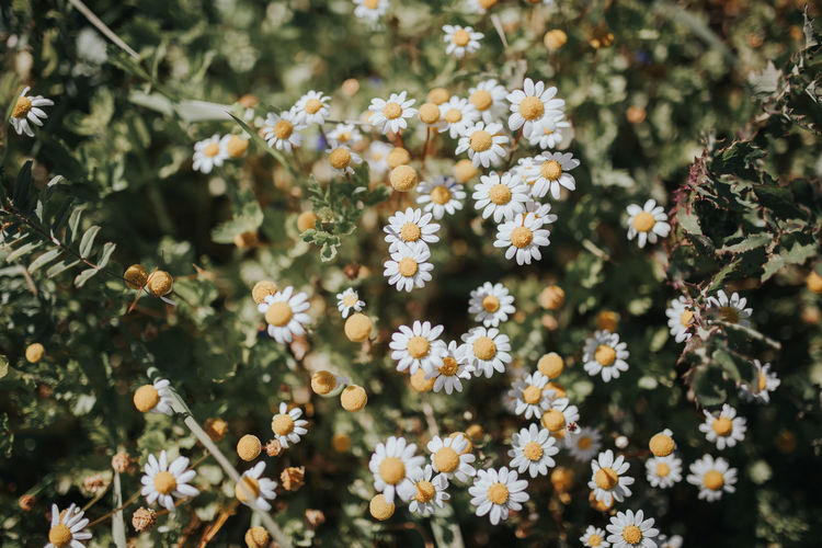 Matricaria Recutita Beauty In Nature Close-up Day Flower Flower Head Fragility Freshness Growth Nature No People Outdoors Plant Spring Spring Flowers Springtime Tree