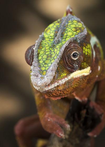 Close-up of panther chameleon furcifer pardalis - animal reptile photo series