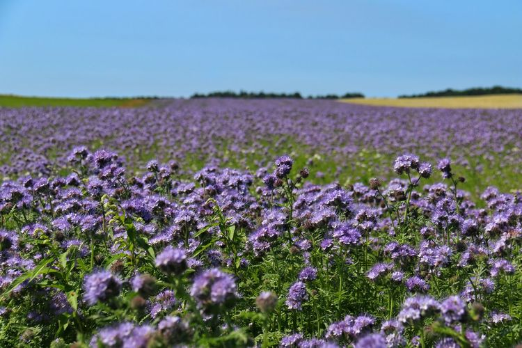 Büschelschön, Bienenweide, Büschelblume, Bienenweide Phacelia Tanacetifolia Blumenmeer Nature Photography Natural Beauty Blue Color Landscape , Taking Photos Relaxing Enjoying Life Sunny Day Idyllic Scenery Color Palette