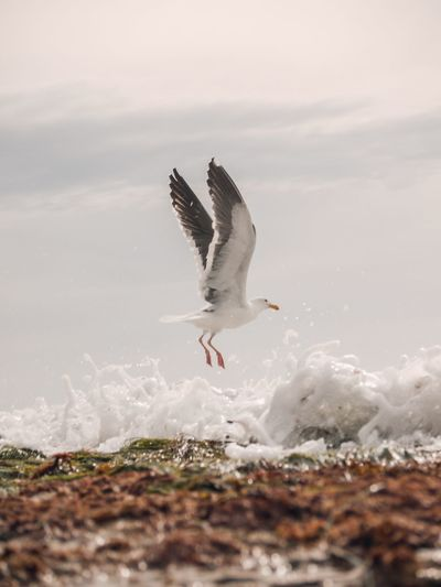 Seagull flying above the sea