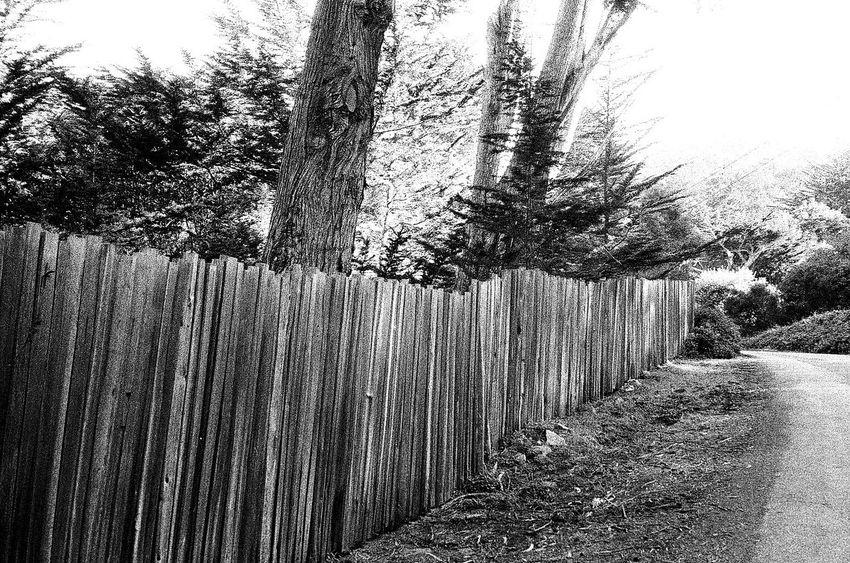 Koduckgirl Tree Picket Fence Wood - Material Tree Trunk NATURA Classica Ilford Delta 3200 Film Grainy Photo Carmel California Blknwht