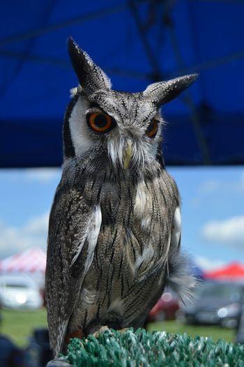 Owl Raptor Hunter Bird Bird Photography Feather_perfection Featheredbeauties Feathers EyeEm Nature Lover
