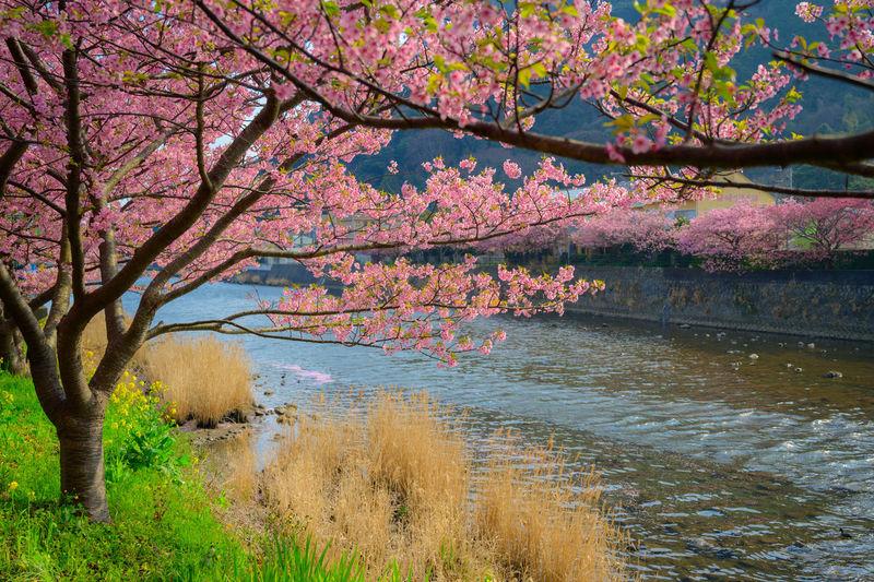 Cherry blossom tree by lake