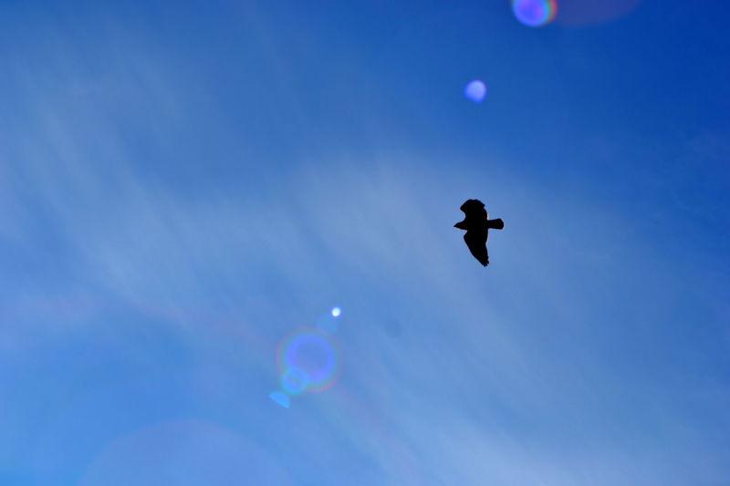 Bird Bird Photography Birds Of EyeEm  Birds Of Prey Buzzard  Clouds Silhouette Sky Sunlight