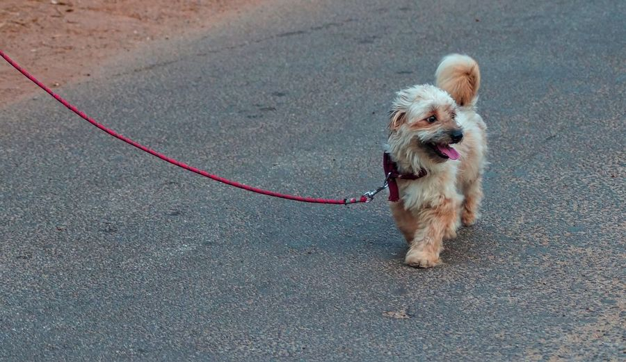 Dog Taking A Stroll On Road