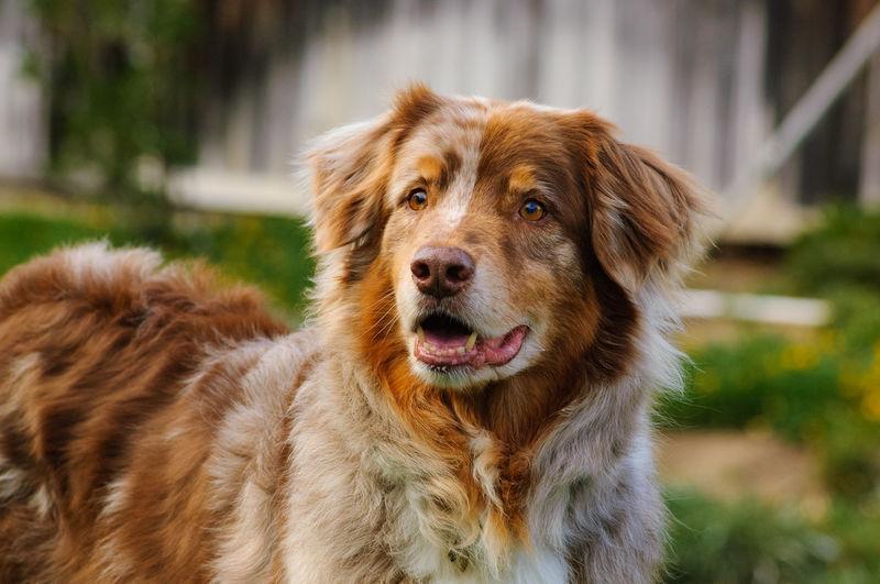 Australian Shepherd dog Animal Animal Themes Australian Shepherd  Canine Day Dog Domestic Animals Mammal No People Outdoors Pet Pets