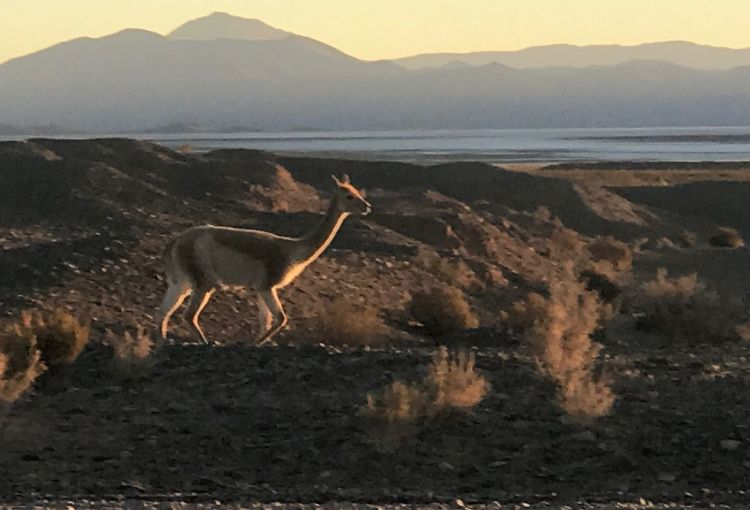 Guanaco and