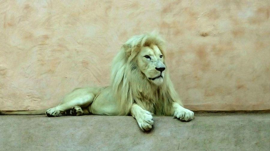 Lion Lion King  лев  лева Zoo зоопарк Зоомир