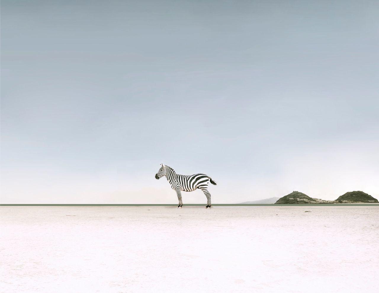 Zebra standing at beach against sky