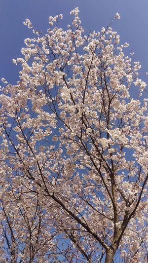 桜開花 桜 開花 快晴 青空 Blue Sky Fine Day Fine Weather Japan Photos Flower Cherry Blossoms Flower Collection Cherry Blossam Collection Spring