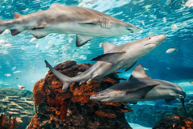 Giant scary sharks under water in aquarium. sea ocean marine wildlife predators dangerous animals
