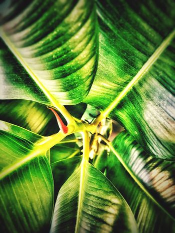 My Plant Leaf Green Color Close-up Nature Growth Beauty In Nature Freshness No People Full Frame